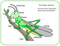 Grasshopper Anatomy Poster For Kids